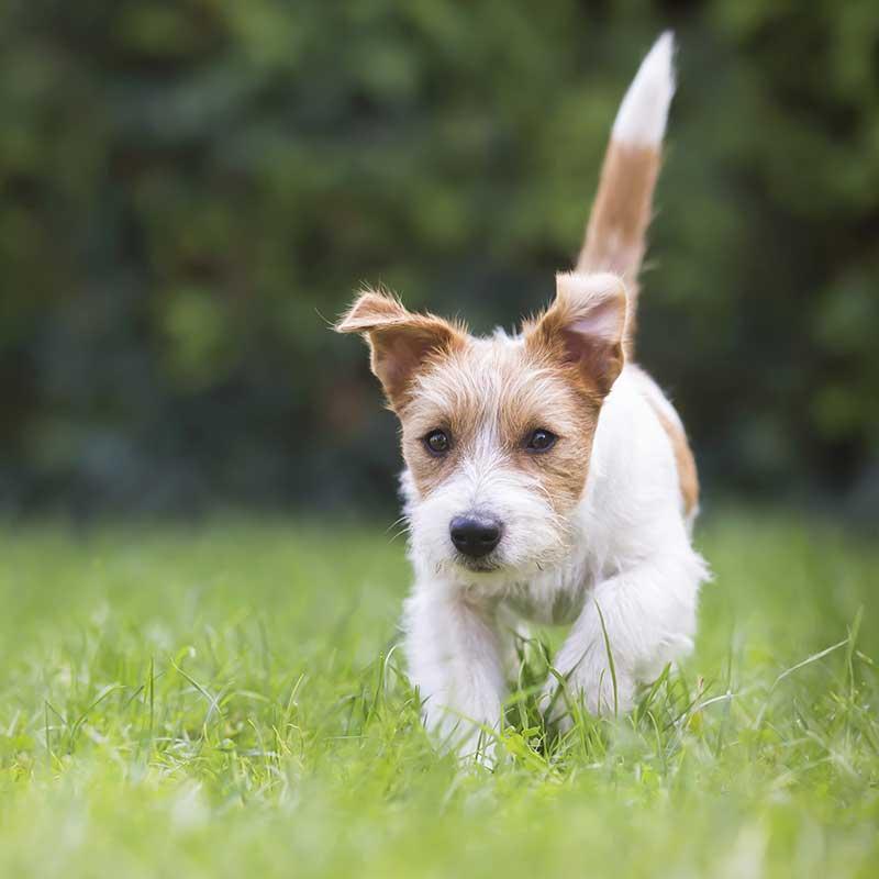 Small dog running through the grass
